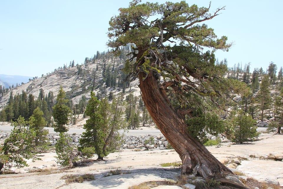 Cedar Wood Strong