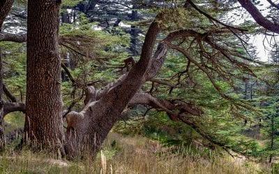 What Makes Cedar So Useful